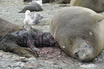 Elephant seal with p