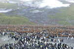 Colony of king pingu